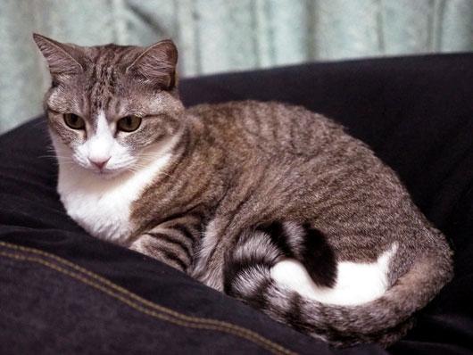 サバ白猫のくぅにゃん