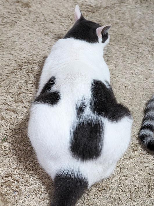 ハートの猫