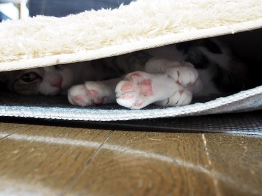 ホットカーペットの下の猫