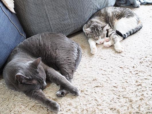 同じポーズで眠る猫