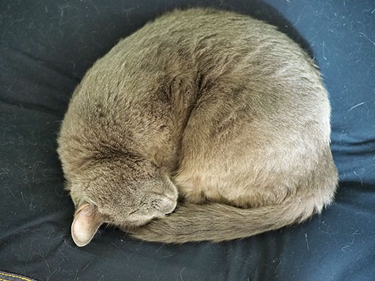 アンモニャイトの猫