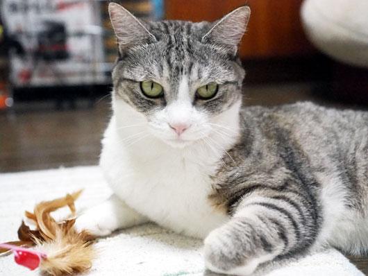 にらみつける猫