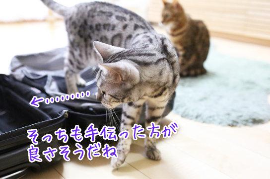 シルバーベンガル猫