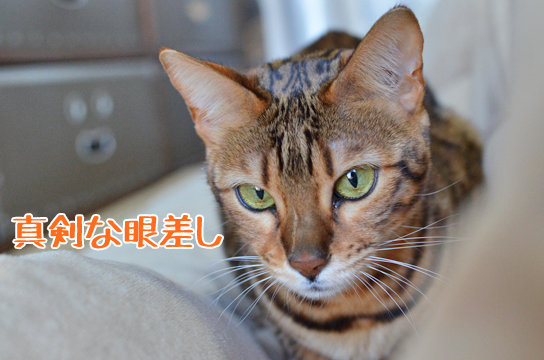 和室の「ふすま」を猫から守りたい! -猫を2匹飼っ …