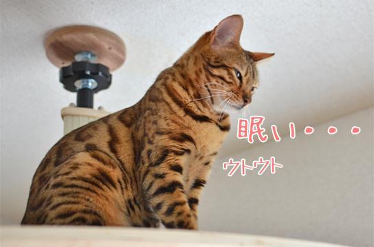 ベンガル猫 春眠暁を覚えず・・・暖かいと猫も眠いのか?と思ったけどモナー、今日も朝の... ベン