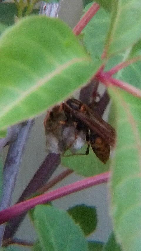 新アシナガバチ巣