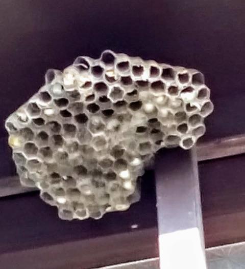 昨年のアシナガバチ巣
