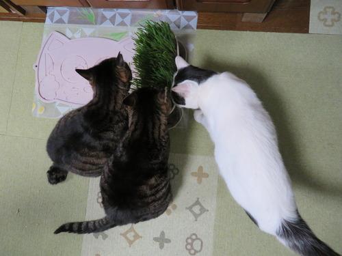 猫草ウマウマ