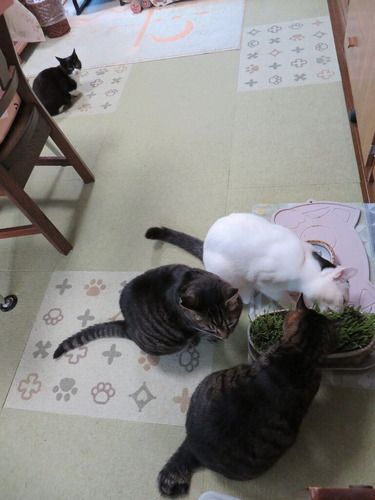 猫草うまうま