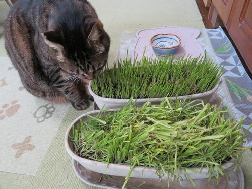 猫草食べごろに