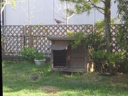庭にキジバト