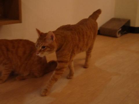 猫式ブログ~里親募集型猫カフェ-チャック