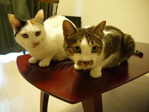 $猫式ブログ~里親募集型猫カフェ
