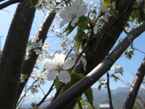 山桜・白 その2
