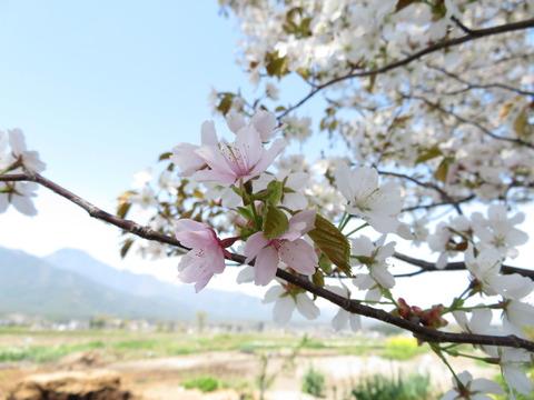 山桜・ピンク その3