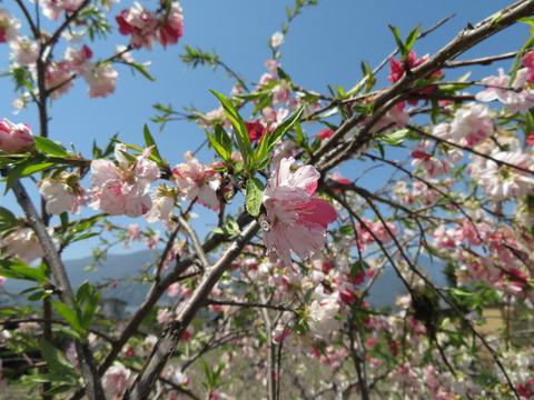 枝垂れの花桃?