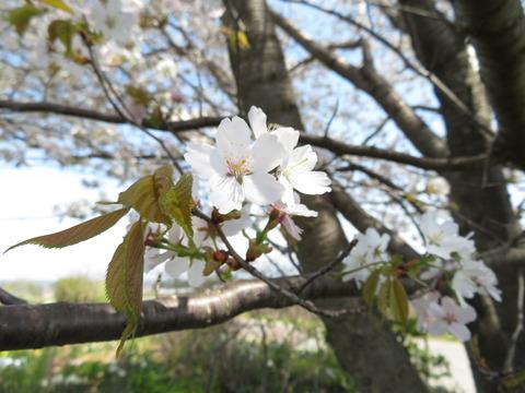 山桜・ピンク その2