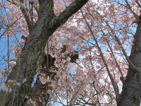 早咲きの桜です。