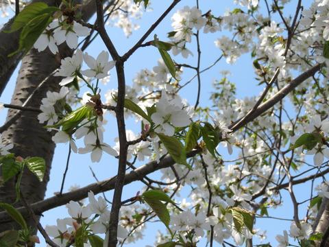 山桜・白 その1