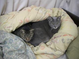 布団の中の猫ねこ