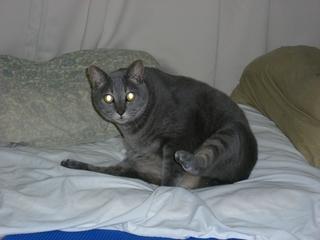 ベッドの上の猫(ネコ)
