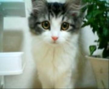 チェルシー子猫