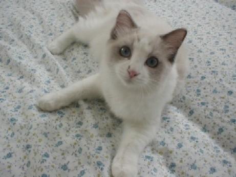 猫パンチTVティファニー子猫
