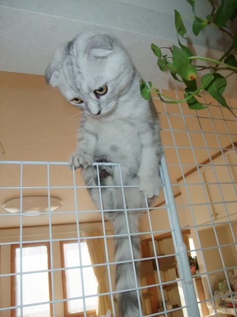 「猫だらけ」モモ5