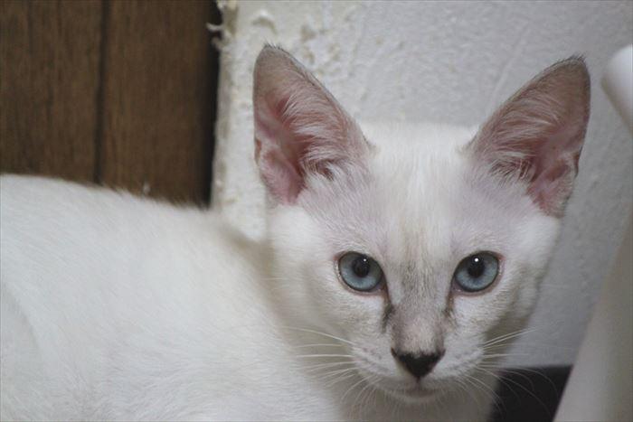 シャム(サイアミーズ)の特徴が色濃いMIX猫ミルミルちゃんなのだ