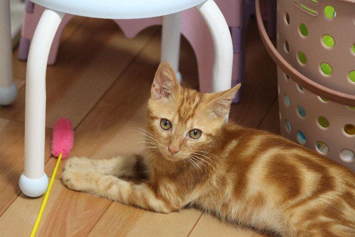 栄養状態が良くなった保護子猫は一気に体重が増えるのだー!