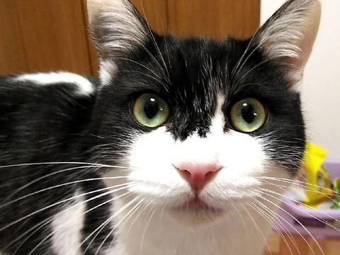 白黒猫というには表情豊かな毛並みのメイン君なのだった