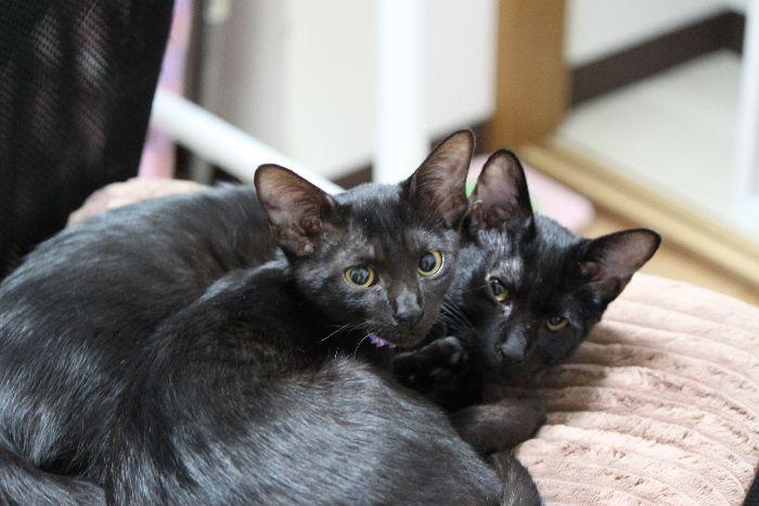 またまた黒猫きょうだい!?艶やかなゼロ君&ちうね嬢