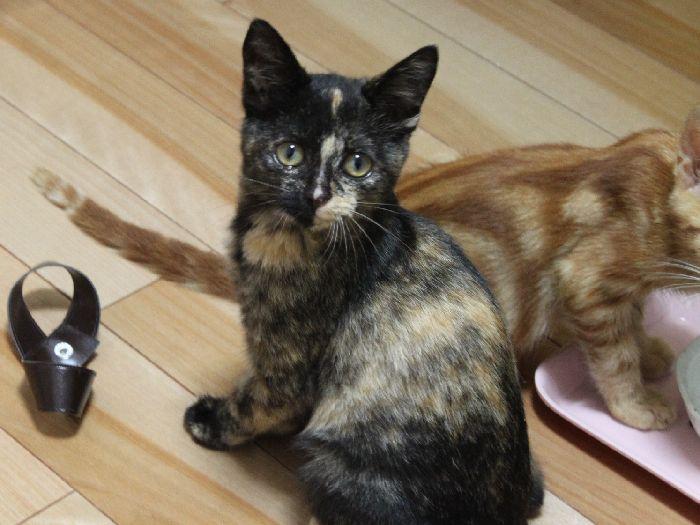 べっぴんサビ猫命名「ラキ」ちゃん!子猫なのに距離感が~っ!