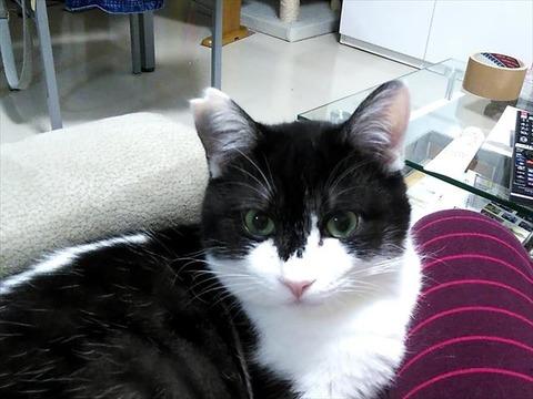 見た目と実体重が近付いてきた白黒もっちり猫のメインなのだった