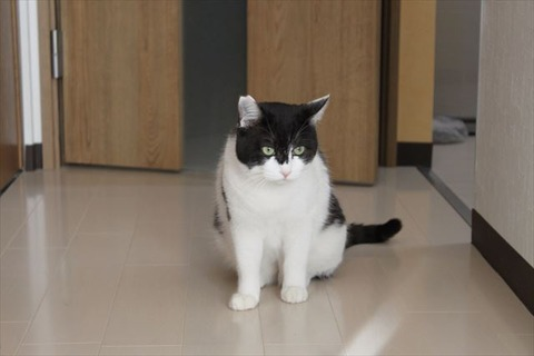 白黒むっくり猫メイン!正式に里親様募集開始しましたよー!