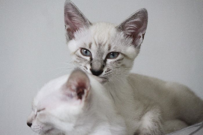 シャムの遺伝子?運動量がハンパないMIXきょうだい猫!