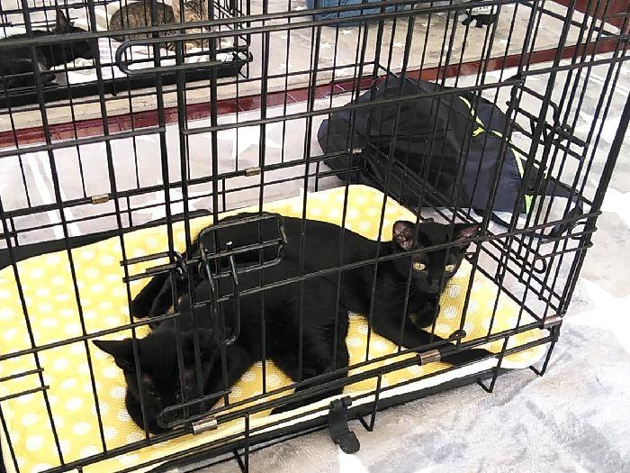 黒猫姉妹クゥ&チィ初めての譲渡会!ちょっと疲れたねー