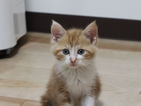 保護猫★お騒がせ茶白ボーイ『チャシー』そろそろ里親様募集かな?