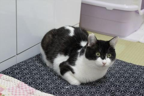 見かけよりずっと俊敏!やっぱり不思議な被毛の白黒猫メイン君