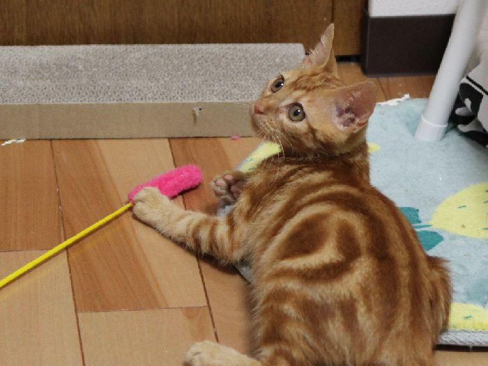 子猫時代にいろんな遊びを楽しもう♪猫も知育が必要な時代かも!?