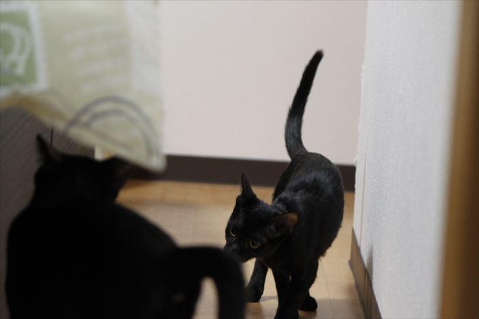 黒猫ちうねは肝の据わった遊びたがり~のお嬢さん(トライアル開始)