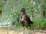 アルバニアの鷲
