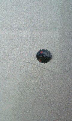 黒いテントウムシ