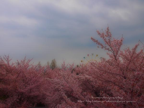 ハンター住宅の窓から見た桜