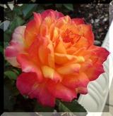 101710_rose2