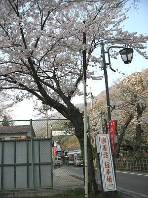 駐車場桜3