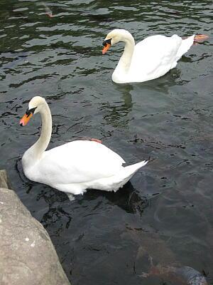 松本城の白鳥6