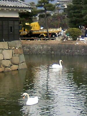 松本城の白鳥1