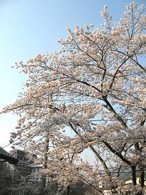 華亭前の橋の桜