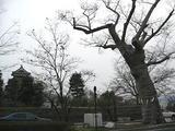 松本神社の御神木